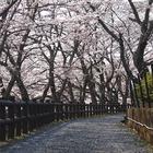京都府亀岡市にある桜の名所「和らぎの道」ご紹介!